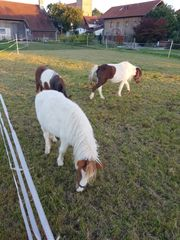 Amerika mini Ponys