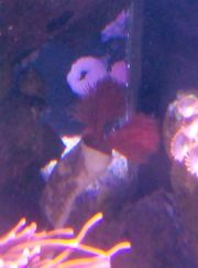 Pracht Kalkröhrenwurm Protula bispiralis Korallen