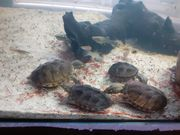 kleinbleibende Wasserschildkröten