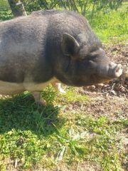mini Schwein