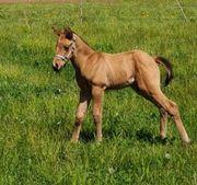 Quarter Horse Hengst Fohlen Allrounder