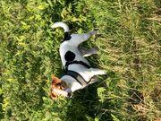 Deckrüde Jack Russell Terrier