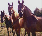 Stallhelfer in Pferdepfleger in für