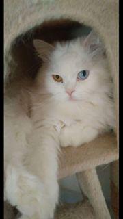 Perser Deckkater sucht eine Katzendame