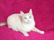 Katze Siam mix 9 Monate
