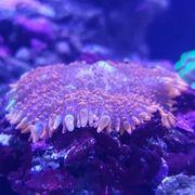 Koralle Rhodactis