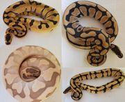 Königspython Python regius eigene Nachzucht