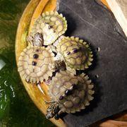 4 Höckerschildkröten Graptemys nigrinoda Wasserschildkröten