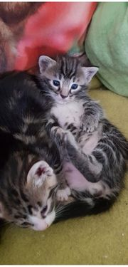 Rasse Mix Kitten