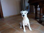Jack Russell Terrier Hündin Welpe