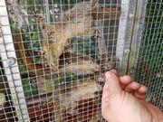 3 junge Chinesische Streifenhörnchen
