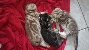 Bkh Kitten scotisch Fould