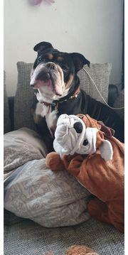suche deckrüde bulldogge