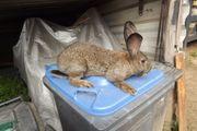 Kaninchen Deutscher Riese Bock von