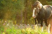 Shire Horse Deckhengst