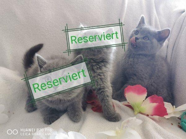 bkh kitten Babykatze
