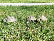 Vierzehen - Steppenschildkröte