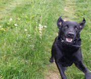 Labrador Mischling 9 Jahre