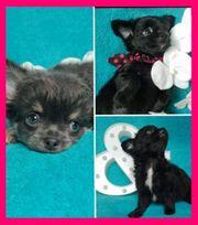 Die Schönsten Chihuahua Bärchen