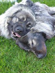 Kaukasischer Schäferhund hündin Owtscharka