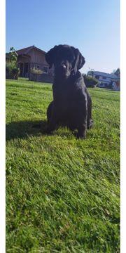 Labrador Retriever Junghund
