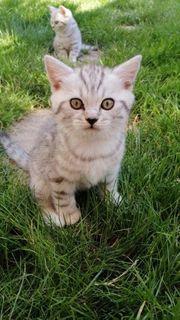 Kitten BKH reinrassige wunderschöne Baby