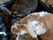 Kaninchen paarweise 2 Paare