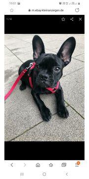 GESUCHT Französische Bulldoggen Welpe schwarz