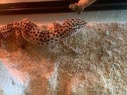 Leopardgecko Weibchen 0 1