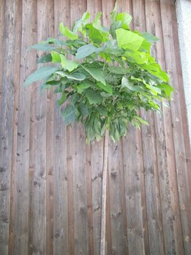Pflanzen - Catalpa bignoioides nana Kugelbaum Beamtenbaum
