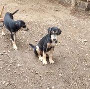 HARDY - Schwarz-brauner Hundebub sucht sein
