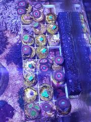 Korallenableger meerwasser zoas Weichkorallen LPS