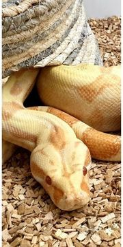 Boa Constrictor Sunglow 0 1