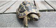 Schildkröte in Lustenau zugelaufen