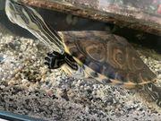 verkaufe Schildkröte