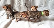 Unsere Kitten sind da - Bengalkitten