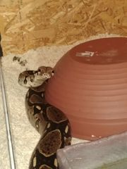 Boa Constrictor Imperator Reserviert