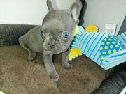 Französische Bulldogge blue Welpen