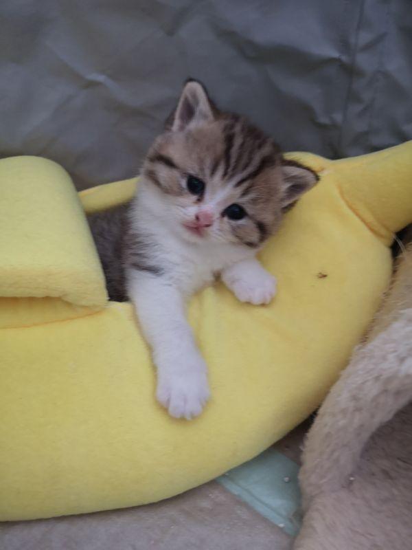 Bkh Kitten Stammbaum