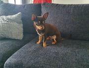 Deckrüde Chihuahua schoko-tan-tricolor