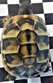 Griechische Landschildkröten Gesunde vitale Babys