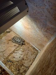 Breitrandschildkröten Männchen