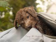 Bedlington-Terrier VDH-Zuchtstätte The Bushwalker