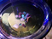 Meerwasser Ableger Weichkorallen Keniabäumchen Scheibenanemone