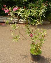 Oleander Nerium oleander Rosenlorbeer Pflanze