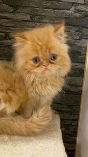 perser - kitten