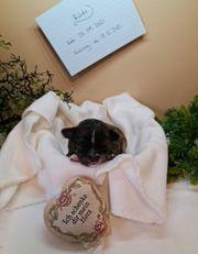 Chihuahua Schätze suchen Traumzuhause