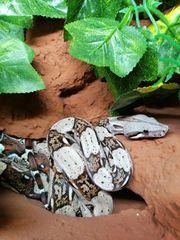 1 0 Boa Constrictor Männchen