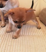 Chihuahua Welpen KH