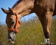 Quarter Horse Hengst Fohlen Buckskin